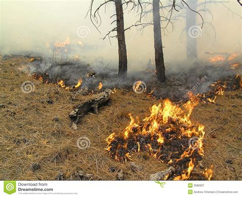 Burning Pine In Fireplace by Burning Pine Needles Royalty Free Stock Photography