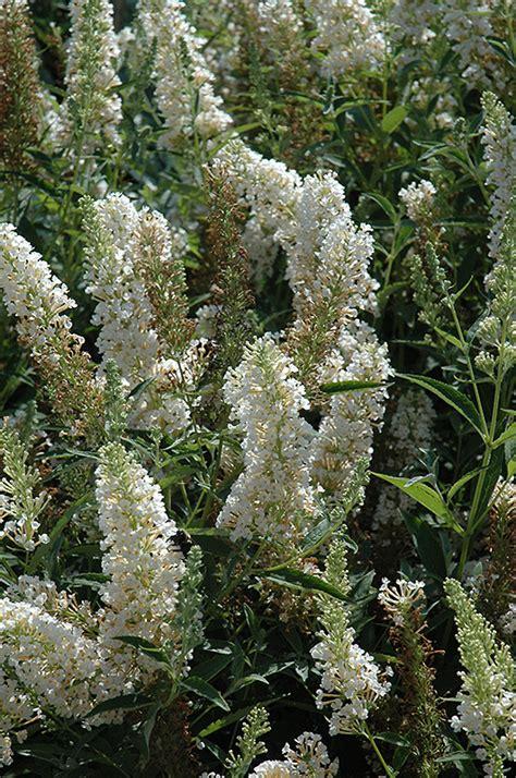buzz ivory butterfly bush buddleia tobuivo  richmond