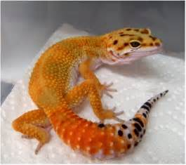 leopard gecko colors picture of a bright leopard gecko lizard types