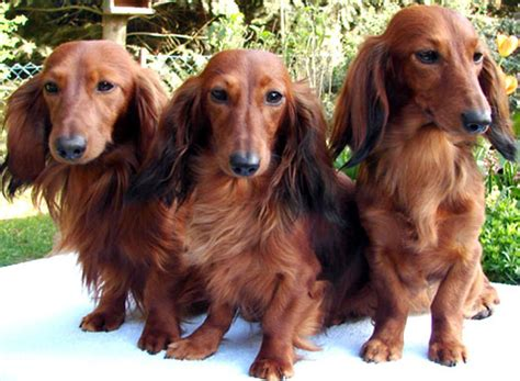 haired mini dachshund puppies ahh i want on miniature dachshunds haired dachshund and miniature