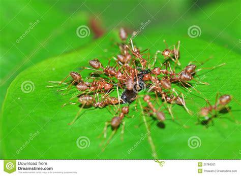imagenes de hormigas rojas hormigas rojas fotos de archivo imagen 25788263
