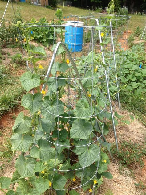 grow cucumbers on trellis trellising cucumbers in the garden kw homestead