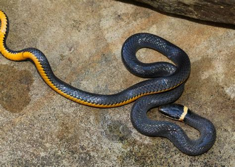 ring necked snake a harmless charmer