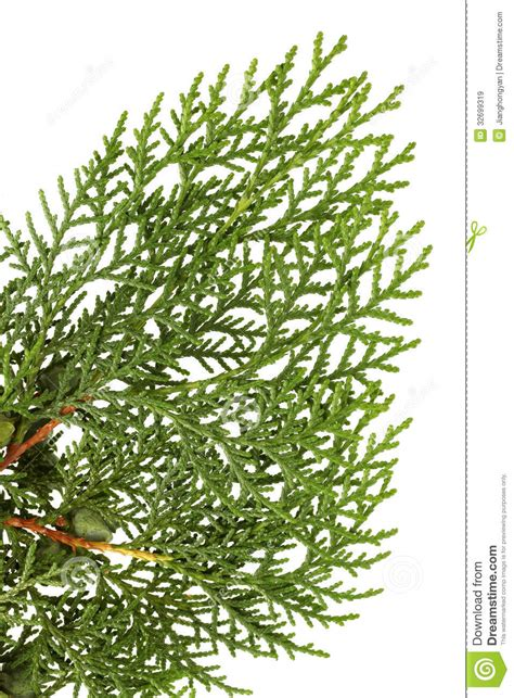 leaves of pine tree royalty free stock images image
