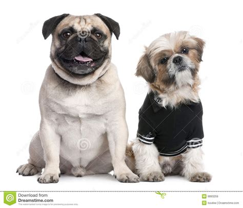 pug or shih tzu pug and shih tzu picture