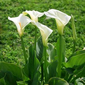 Blume Calla Pflege by Calla Zimmercalla Zantedeschia Pflege Und 220 Berwintern