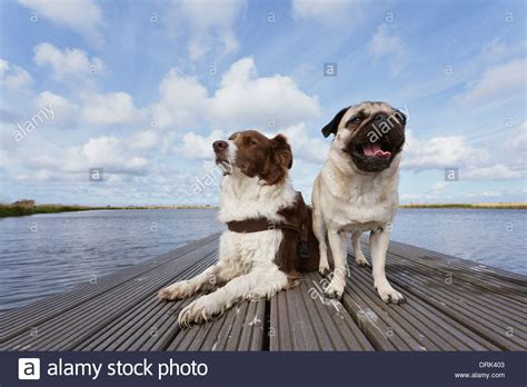 border collie pug pug and border collie on a jetty germany stock photo royalty free image 66188419 alamy
