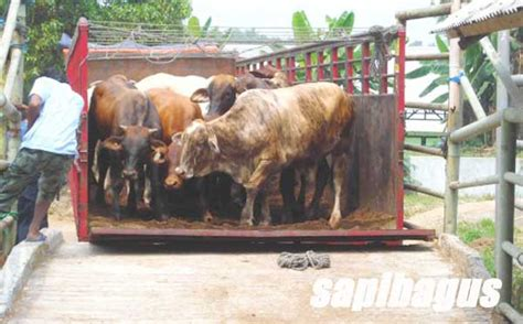 Timbangan Sapi Hidup sapi potong sapibagus