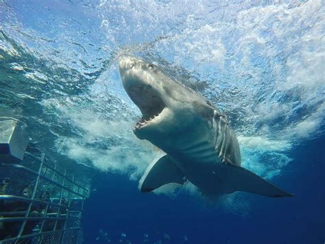 cage dive with sharks shark cage and sea diving with calypso charters