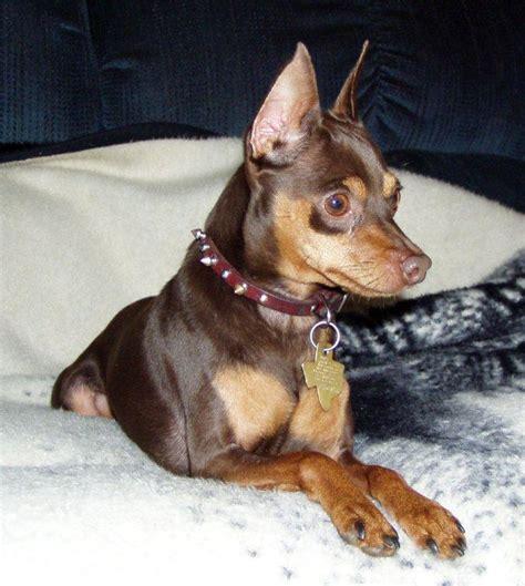 min pin miniature pinscher puppy dogs breeds picture
