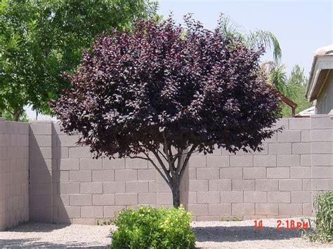 purple leaf plum tree plants pinterest