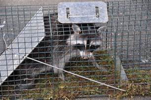 Backyard Chickens Raccoons What Is The Best Bait For Raccoons In A Live Trap Page 8