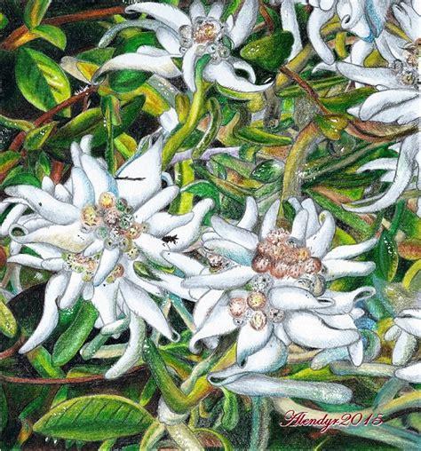 la stella alpina fiore i miei disegni 171 la bottega di alendyr