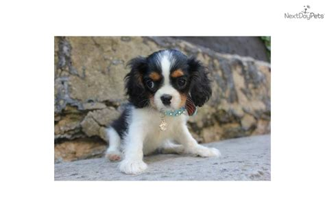 teacup cavalier king charles spaniel puppies for sale cavalier king charles spaniel for sale for 1 200 near new york city new york