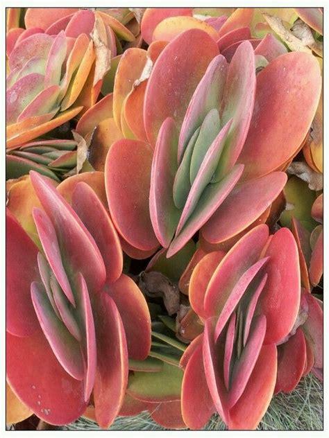 Propagating Succulents Succulents And Plants On - 437 best succulents kalanchoe images on