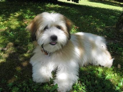 havanese clipped best 25 havanese grooming ideas on havanese haircuts havanese and
