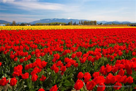 tulip field top tulip fields wallpapers