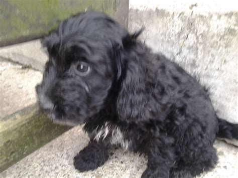 cockapoo puppies for sale ohio pin cockapoo puppies for sale in oregon ohio classifieds americanlisted on