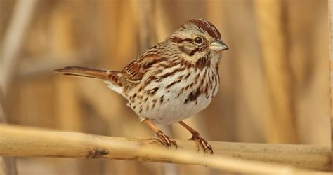 song sparrow overview all about birds cornell lab of