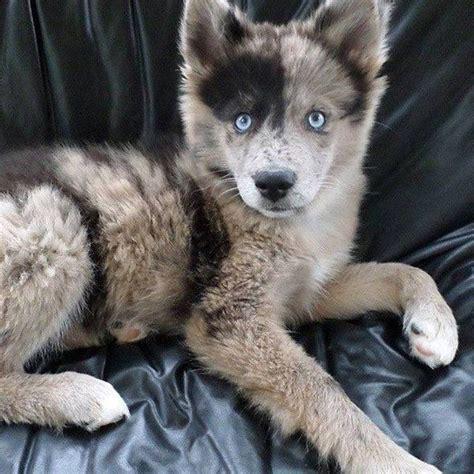 australian shepherd husky mix puppies best 25 australian shepherd husky ideas on