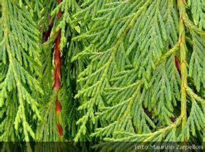 conifere da vaso conifere archivi piantevivai