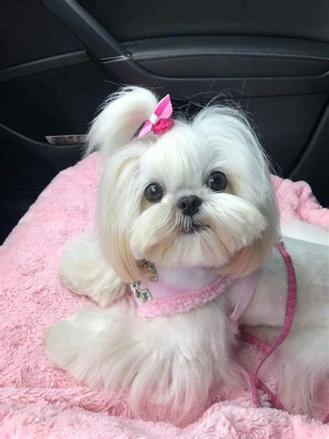 maltese and shih tzu hairstyles shih tzu affectionate and playful shih tzu puppy and