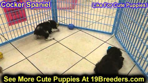 puppies for sale in eau wi cocker spaniel puppies for sale in green bay wisconsin wi eau waukesha
