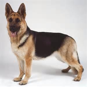 belgian sheepdog as guard dog pastor alem 225 n perrosamigos com