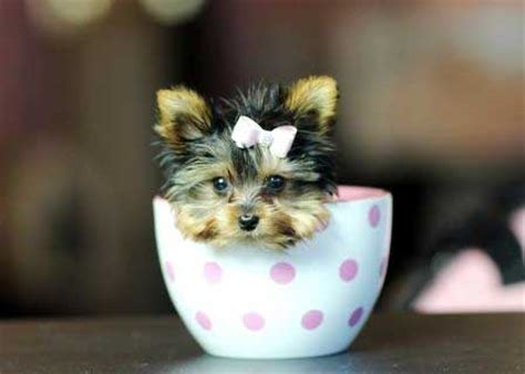 teacup yorkie puppy prices teacup yorkie price how much does a teacup yorkie cost yorkiemag