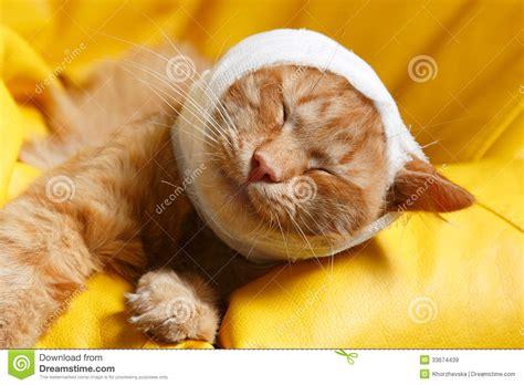 mal d oreille de chat avec le bandage images libres de