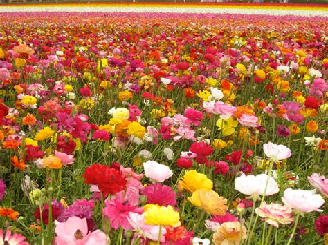 field of flowers pictures free the flower fields carlsbad california wanderlust in