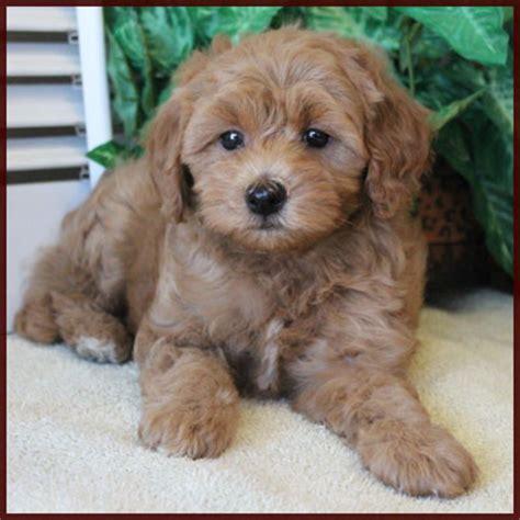 lifespan of bichon poodle poochon bichpoo breeds picture