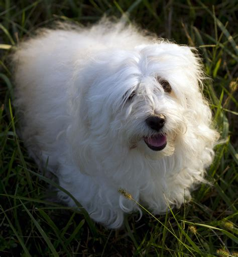how much is a havanese how much is that puppy dulce havanese