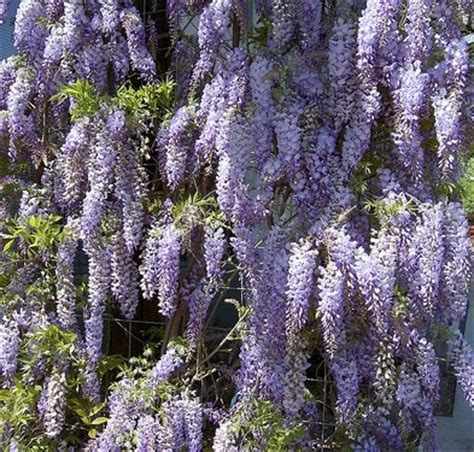 lilac climbing plant wisteria sinensis prolific