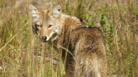 Coyote Destiny what do reas and coyotes in common afrea
