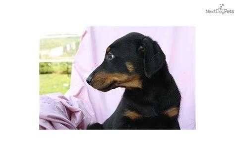 doberman rottweiler mix puppies for sale meet zeke a doberman pinscher puppy for sale for 500 zeke 5jk rottweiler