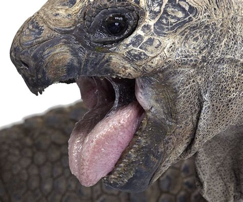 Giant tortoise up close images | Animals and Nature ...