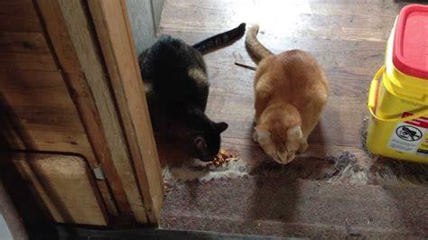 why puppies throw up cats eat vomit puke