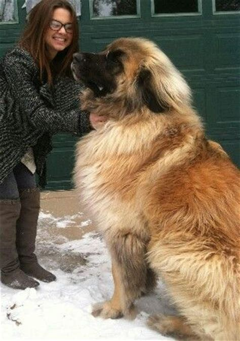 leonberger puppies ohio leonberger paws feathers fins and other things pinter