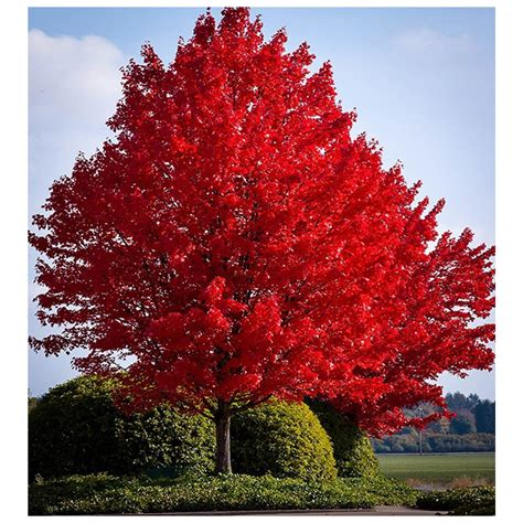 sunset maple tree root system maple growth rate pictures to pin on thepinsta
