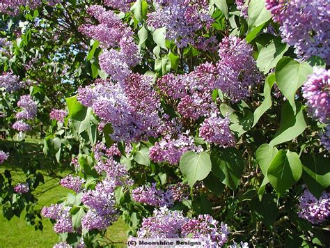 purple lilac old fashioned purple lilac
