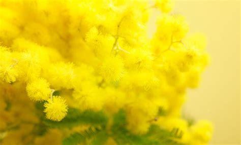 immagini mimosa fiore festa della donna perch 233 si regalano le mimose leitv