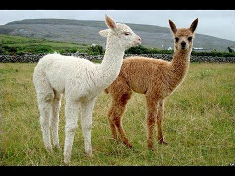 imagenes de animales llamas diferencias entre las llamas y alpacas tvagro por juan