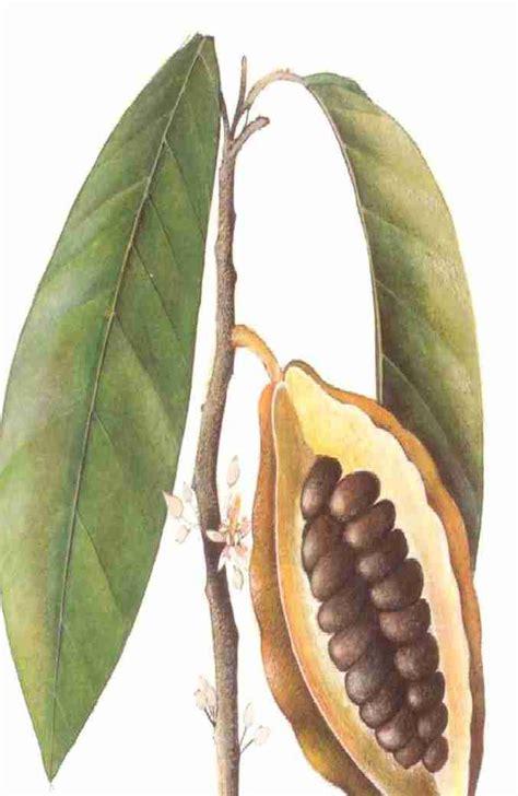 cacaoyer ou cacaotier m 233 decine et sant 233