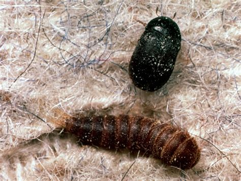 Diatomaceous Earth Carpet Beetles Will Diatomaceous Earth Kill Carpet Beetle Larvae Meze