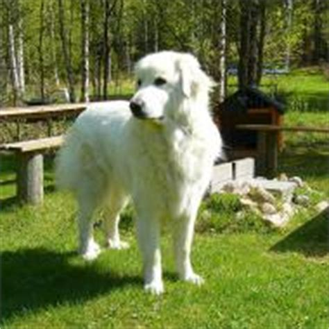 Do Great Pyrenees Dogs Shed by Great Pyrenees Breeds Dogbreedworld