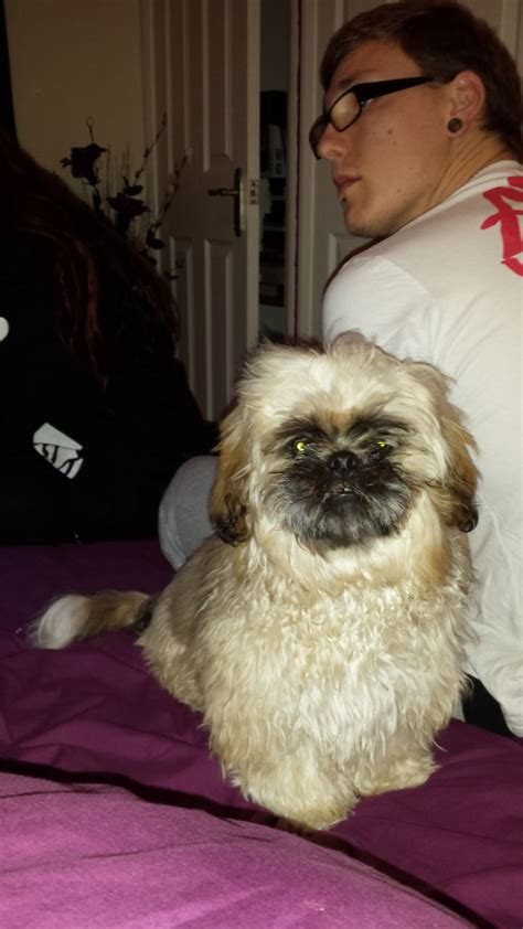 6 month shih tzu for sale 6 month shih tzu for sale clacton on sea essex pets4homes