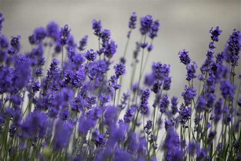 Madika Lavender 10 best essential oils to fight the signs of aging