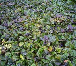 ajuga purple bugleweed 6 quot pot hello hello plants garden supplies