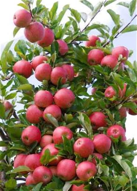 when is a time to plant fruit trees fruit plants and seeds fruir trees fruit bushes and nut